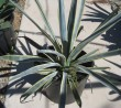 Tequilana Blue Agave