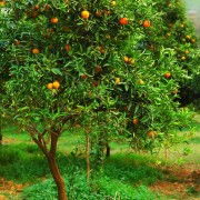 Orange-mandarin-tree1