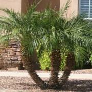 Pygmy-Palm