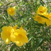 arizona_yellow_bell
