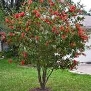 bottlebrush05-09_whole1623