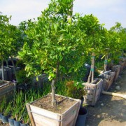 washington-navel-orange-tree-citrus-sinensis-washington