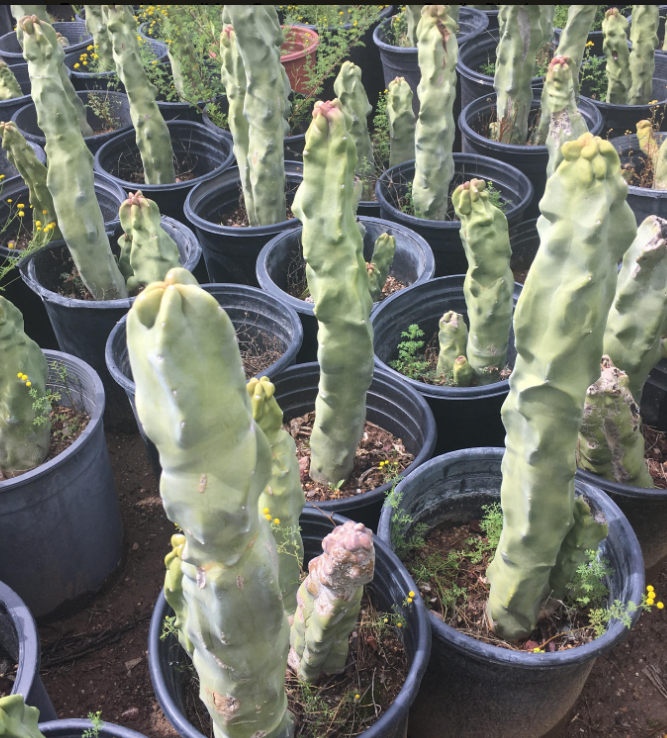 Nursery for Cactus