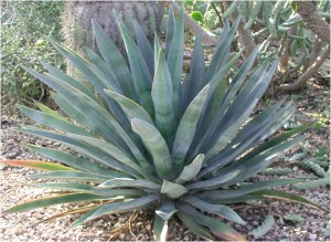 Murphy-Agave-300x219