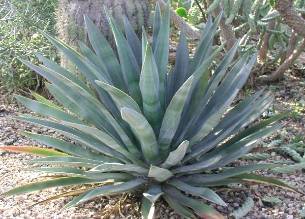 Agave And Desert Landscaping