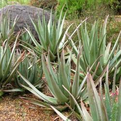 Medicinal Aloe- Aloe barbadensis