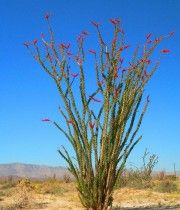 Ocotillo-in-bloom-big-mrr