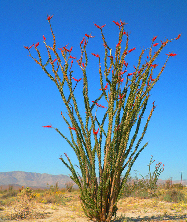 Ocotillo Cactus For Sale Plants Scottsdale Phoenix
