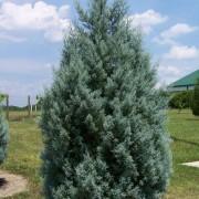 Arizona Cypress 'Carolina Sapphire'