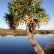 Sabal palmetto St. Marks National Wildlife Refuge 2003-11-21