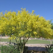 blue_paleo_verde.6-17.xeriscaping_landscaping1