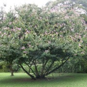 entire-orchid-tree-in