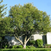 nerium-oleander-tree
