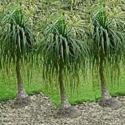 ponytailpalm