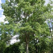 raywood-ash